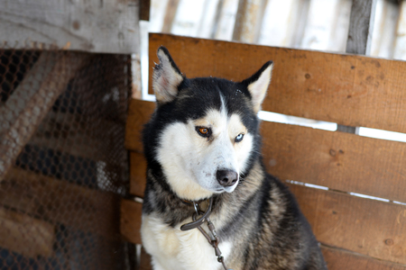 goodness: Goodness Siberian Husky a reliable friend, sled and working dog Stock Photo