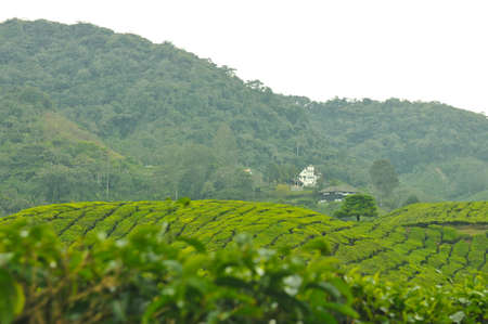 boh: Cameron Highlands, Perak, March 2011 : Boh Tea Plantation look out point at Sg Palas
