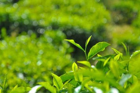 boh: Tea Leaves at Boh Tea Plantation at Cameron Highlands, Perak Stock Photo