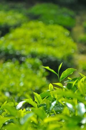 hojas de te: Hojas de t� en la plantaci�n de t� de Boh en Cameron Highlands, Perak