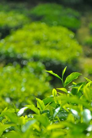 boh: Tea Leaves at Boh Tea Plantation at Cameron Highlands, Perak Stock Photo