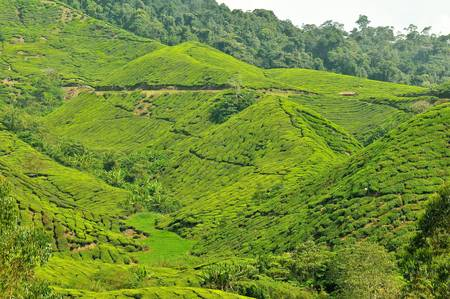 boh: Boh Tea Plantation at Cameron Highlands, Perak