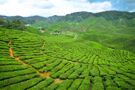 Boh Tea Plantation at Cameron Highlands, Perak