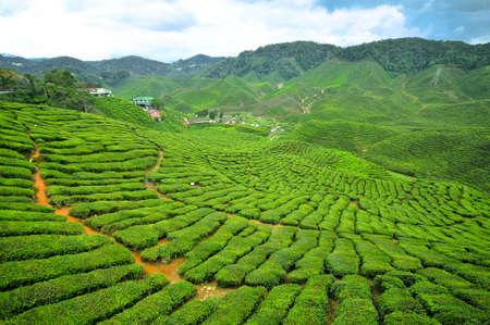 Boh Tea Plantation at Cameron Highlands, Perak Stock Photo - 9048806