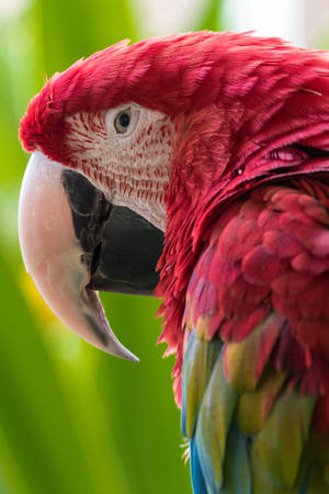 Vertical close up of a Green Winged Macaw including the eyes, beak, head, and feathers around the head Stock Photo