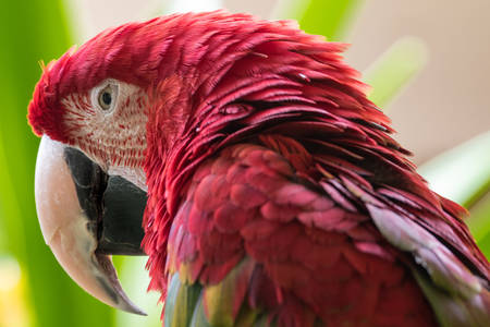 Horizontal close up of a green winged macaw including the beak, eyes, head and feathers around the head