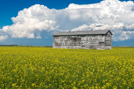 Cumulonimbus storm clouds over an old grain bin and a canola field in full bloom outside Swift Current, Saskatchewan, Canada