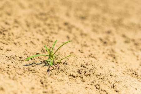 Closeup of an isolated small, green plant in the sand of the Great Sandhills of Saskatchewan, Canada Фото со стока