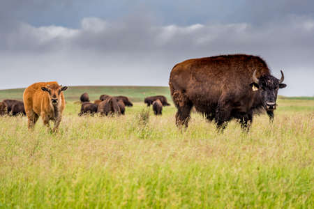 A herd of plains bison buffalo with a baby calf grazing in a pasture in Saskatchewan, Canada 版權商用圖片