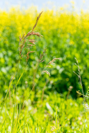Wild brome grass on the Saskatchewan prairies with a yellow canola field in the background