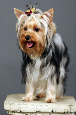Yorkshire Terrier isolated on grey Stock Photo - 9534042