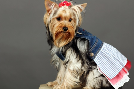 Yorkshire Terrier isolated on grey Stock Photo - 9534122