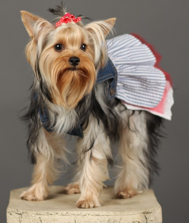 Yorkshire Terrier isolated on grey Stock Photo - 9534416