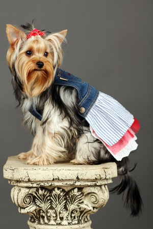 Yorkshire Terrier isolated on grey photo