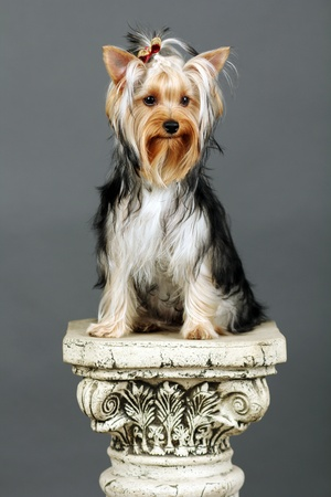 Yorkshire Terrier isolated on grey Stock Photo - 9534084