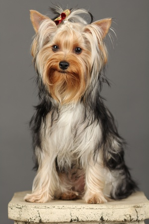 Yorkshire Terrier isolated on grey Stock Photo - 9534063