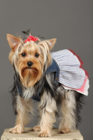 Yorkshire Terrier isolated on grey Stock Photo - 9534088