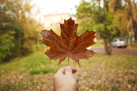Male hand holds a maple leaf on the background of an autumn park