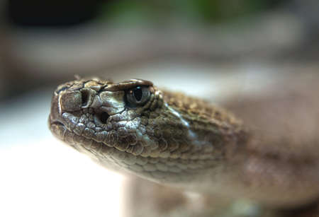 serpiente de cascabel: Primer plano de una serpiente de cascabel diamante del oeste
