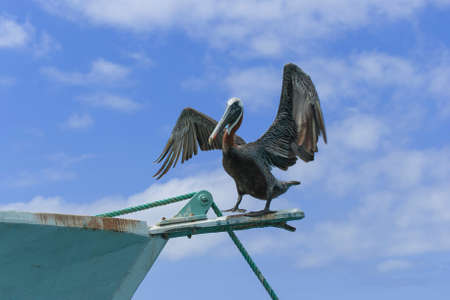 cristobal: Brown Pelican (Pelecanus occidentalis) drying its wings on a boat in the Baquerizo harbor on San Cristobal Island. Stock Photo