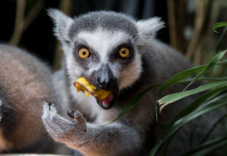 intensely: Ring tailed lemur (Lemur Catta) staring intensely at camera while eating Stock Photo