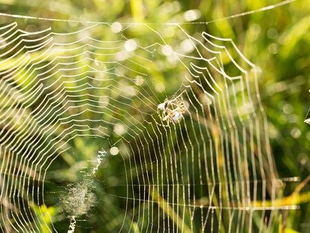 Spider web in the morning, drops of dew on a spider web
