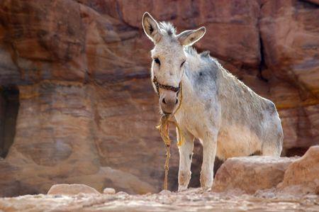 jack ass: Asino tra il paesaggio desertico di arenaria di petra jordan