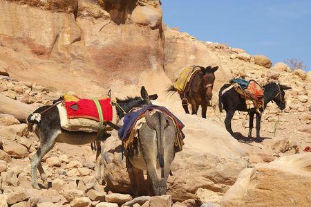 jack ass: Donkeys amongst the sandstone desert landscape of petra jordan