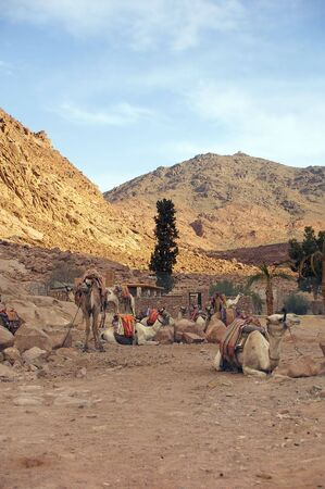 sinai: Camels in mount Sinai place of ten commandments and Moses