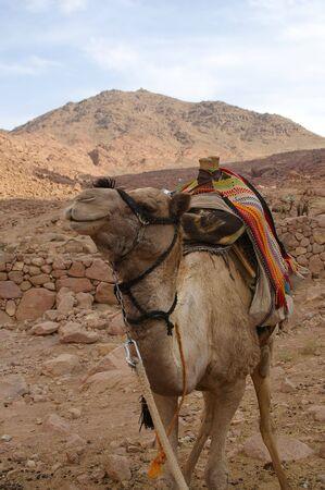 monte sinai: Camello en lugar de Monte Sina� de los diez mandamientos y Mois�s