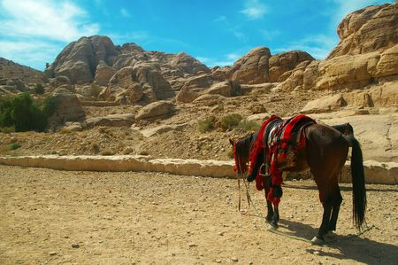horse in the landmark reserve of petra Jordan  photo