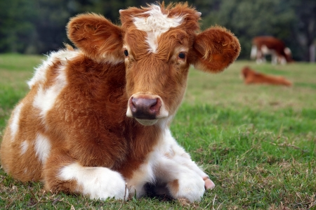 cute baby cow in the rural setting of the sunshine coast hinterland Stock Photo