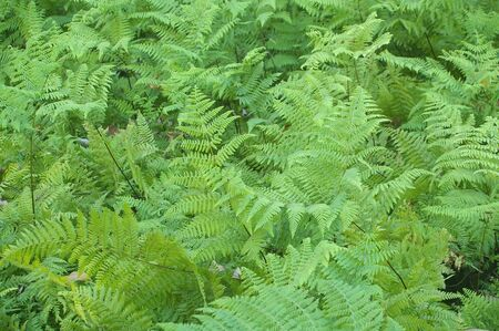 fresh young bright green fern background texture Stock Photo - 7501708