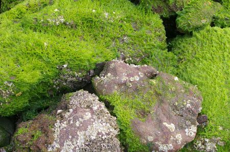 algaes: coastal background texture of algae on rocks at low tide