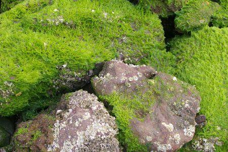 plancton: textura de fondo costeras de algas en las rocas con marea baja