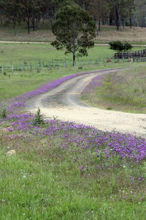 australia outback road lined with pattersons curse Stock Photo - 8136086
