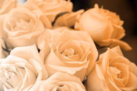 pink rose close up  flower floral background image Stock Photo - 11279635