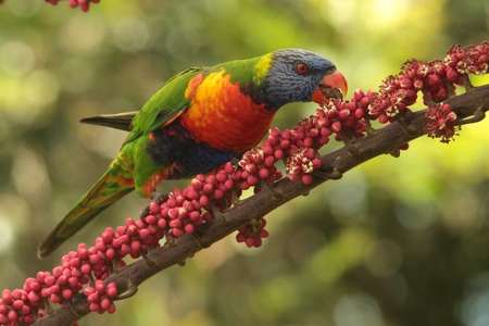 Australian native parrot rainbow lorikeet a symbol of the gold coast and a honey eater photo