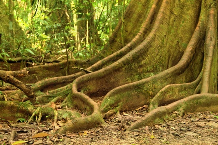 hdr image of rainforest buttress mary caincross national park maleny queensland photo