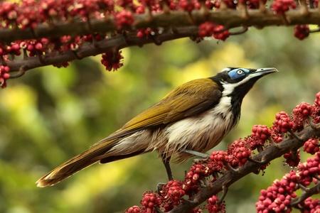 faced: blue faced honey eater australian native bird