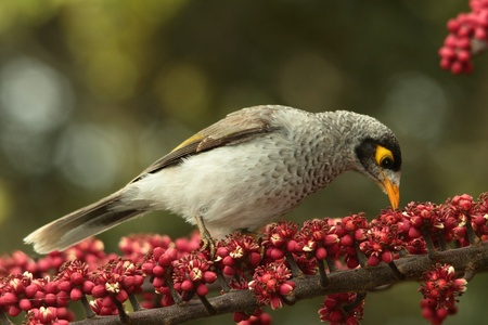 introduced: introduced bird pest enviromental vermin in australia myna