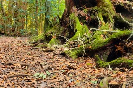 gondwana: area lamington national park gondwana land with ancient brush top box and antartic beech species