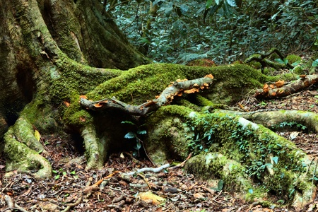 Old growth rainforest in  area lamington national park with a symbolic of nature and environment tree and copy space at front Stock Photo - 14392325