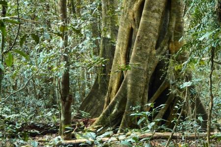 strangler fig banyan tree amongst dense foliage in world heritage area lamington national park with a symbolic of the environment Stock Photo - 14392326