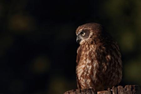 lamington: boobook or barking owl species lamington national park world heritage area