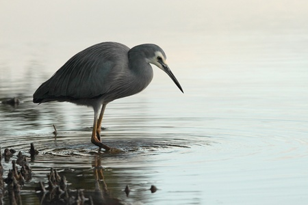 faced: white faced heron wading in mangroves in brisbane nature reserve a symbol of diminshing fishing stocks adn waterbrids