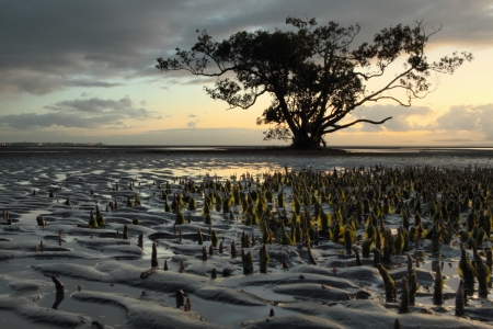Silhouette of mangrove tree nudgeee beach Australia Brisbane Stock Photo