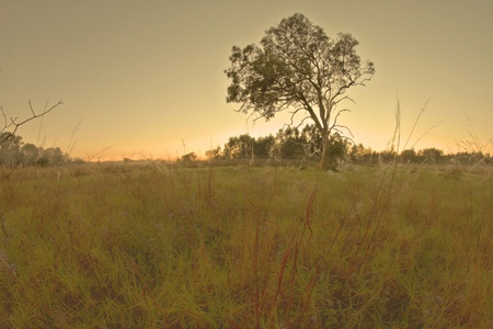 bush land gum tree landscape in bondall wetlands brisbane photo