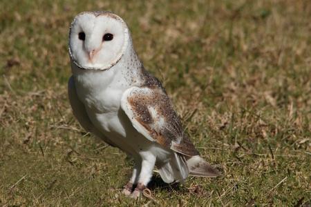 lamington: barn owl on display in lamington national park