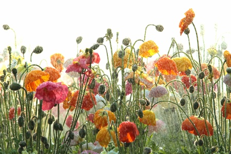red poppies on green field: australian south east queensland tourist attraction the flowers of carnival toowoomba  Stock Photo